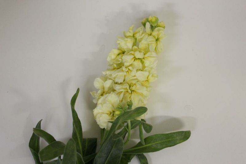 Pale Yellow Stock Flower photo by Blank Slate Events and Floral Design NYC
