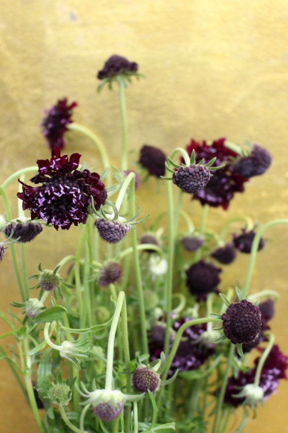 Scabiosa Black Knight Pincushion Flower Photo by NYC Floral Designer Blank Slate Events Flowers by Name